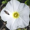 Sawfly On A Beach Morning Glory Flower by Kenneth Albin