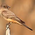 Say's Phoebe Looking Back With Insect Grasped In Beak by Max Allen