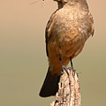Say's Phoebe On Perch With Grasshopper In Beak by Max Allen