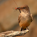 Say's Phoebe Pausing With Freshly Caught Red Dragonfly In Beak by Max Allen