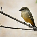 Say's Phoebe  by Saija  Lehtonen