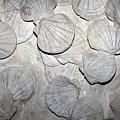 Scallop Fossils by Dirk Wiersma