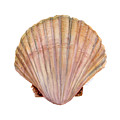 Scallop Shell by Amy Kirkpatrick