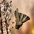 Scarce Swallowtail Feeding by Taiche Acrylic Art