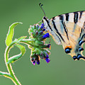 Scarce Swallowtail by Petar Sabol