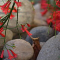 Scarlet Bugler Blossoms On Rocks by Colleen Cornelius