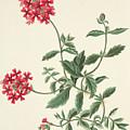 Scarlet Flowered Vervain by Margaret Roscoe