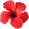 Scarlet Hibiscus Tropical Flower  by Taiche Acrylic Art