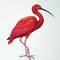 Scarlet Ibis by Christopher Cox