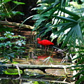 Scarlet Ibis by Eric Liller