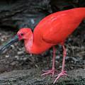 Scarlet Ibis by Kenneth Lempert