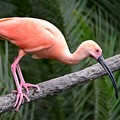 Scarlet Ibis by Richard Bryce and Family