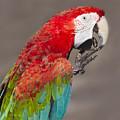 Scarlet Macaw - 2 by Chris Smith
