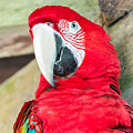 Scarlet Macaw Face by Jess Kraft