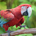 Scarlet Macaw by Olga Hamilton