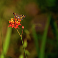 Scarlet Milkweed And Butterfly by Mark Fuge