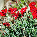 Scarlet Red Dianthus by Teresa Mucha