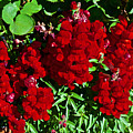 Scarlet Snapdragons At Pilgrim Place In Claremont-california  by Ruth Hager