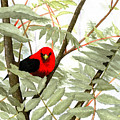 Scarlet Tanager by Mary Tuomi