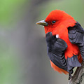 Scarlet Tanager by Mircea Costina Photography