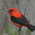 Scarlet Tanager On Stalk by Mark Wallner