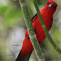 Scarlet Tanager by Pat McGrath Avery