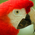 Scarlett Macaw South America by Ralph A  Ledergerber-Photography