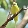 Scenic View Of An Adorable Yellow Parakeet by DejaVu Designs
