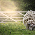 Sheep by Joana Kruse