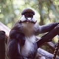 Schmidts Guenon by Jan Amiss Photography