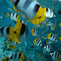 School Of Butterflyfish by Bob Abraham - Printscapes