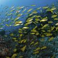 School Of Yellow Snapper, Great Barrier by Mathieu Meur