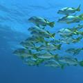 School Of Yellowtail Grunt Underwater by Sami Sarkis