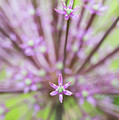 Schubert's Allium by Tim Gainey