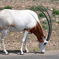 Scimitar Horned Oryx by Teresa Blanton