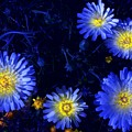 Scintillating Daisies by James Carr