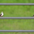 Scissor-tail Flycatcher Couple by Lindy Pollard