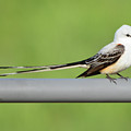 Scissor-tail Flycatcher by Lindy Pollard