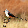 Scissor-tailed Flycatcher by Betty LaRue