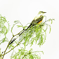 Scissortail On Mesquite by Robert Frederick