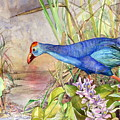 Scooting Coot - Purple Swamphen by Sasitha Weerasinghe