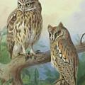 Scops Owl By Thorburn by Archibald Thorburn