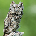 Scops Owl by Gina Levesque