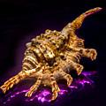 Scorpion Shell by Robert Storost