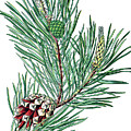 Scots Pine, Pinus Silvestris by Bildagentur-online