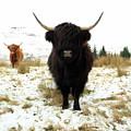 Scottish Black Highland Coo by Maria Gaellman