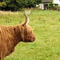 Scottish Cattle Farm by Christi Kraft