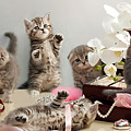 Scottish Fold Cats by Evgeniy Lankin