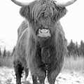 Scottish Highland Coo - Monochrome by Maria Gaellman