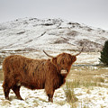 Scottish Red Highland Cow Amongst Wintry Hills by Maria Gaellman